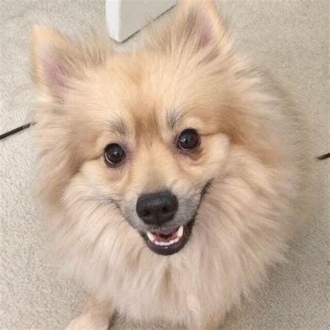 pomeranian nose 17 best images about pomeranian us lost registry on lost pets and