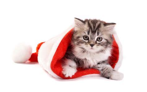 fluffy cat in santa hat wallpapers fluffy cat in santa