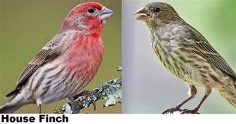 wild birds unlimited house finch vs purple finch