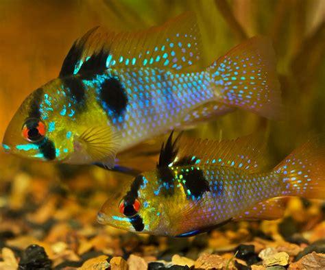 german blue ram 10 gallon show me your fish forum topic equiverse
