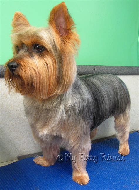 yorkie hair yorkie haircuts pictures only new style for 2016 2017