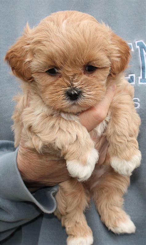 shih poo puppies shihpoo puppy haircut with a service shih poo puppys and
