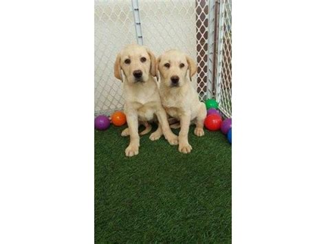 golden retriever dubai golden retriever puppies for sale dubai dogs our friends photo
