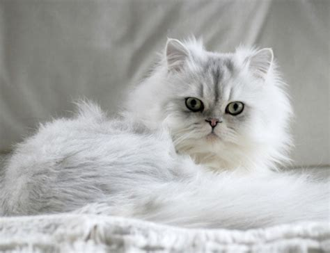 Chinchilla   Cat Breed Information and Profile   Vetwest