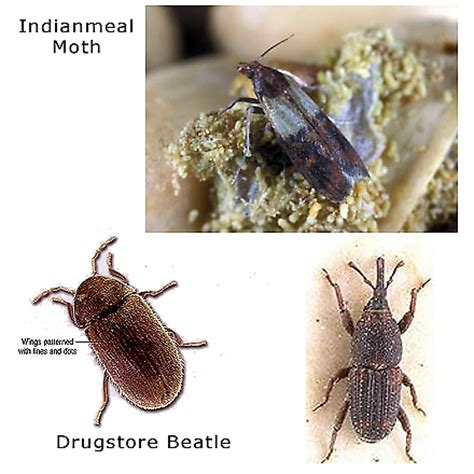 Insects In Pantry by Pantry Pests Omega Termite Pest