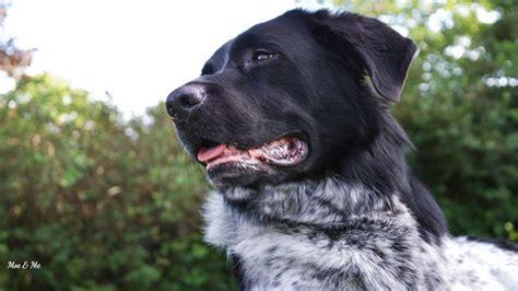 hund pinkelt in die wohnung wenn er alleine ist drahthaar rottweiler sch 228 ferhund moe