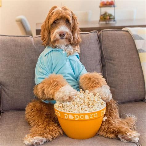 popcorn and dogs 75 best images about dogs as popcorn on chihuahuas for dogs and puppys