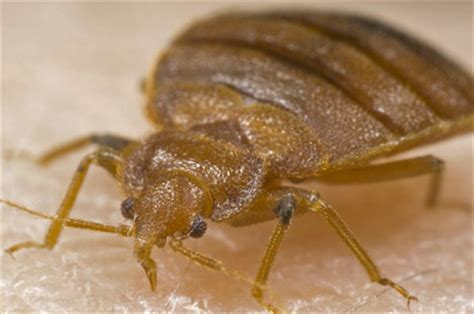 I Bed Bugs by Bed Bugs Getting Rid Of Them Yourself