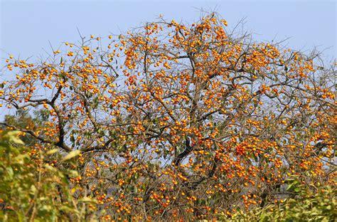 Harga Buah Segar Di Pohon free photo fruit trees persimmon free image