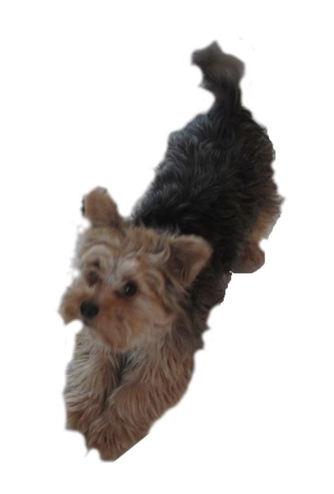 yorkie description clipart yorkie pleading