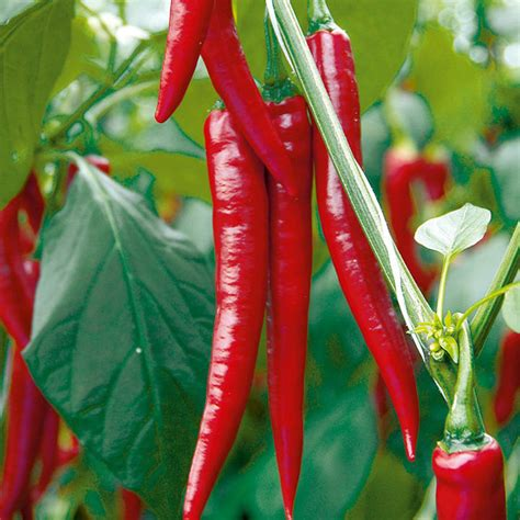 pepper grafted chilli medina  grafted vegetables