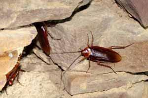 porque salen cucarachas en casa c 243 mo eliminar cucarachas peque 241 as en casa chiquitas qu 233