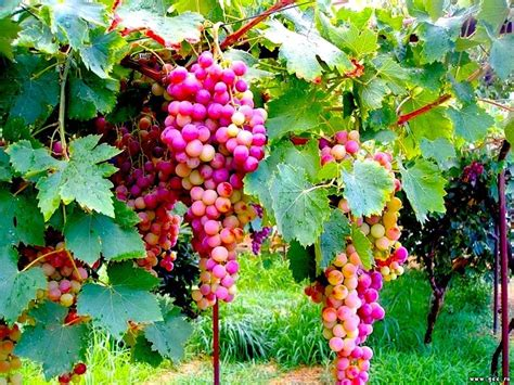 Images Grapes Food Fruit