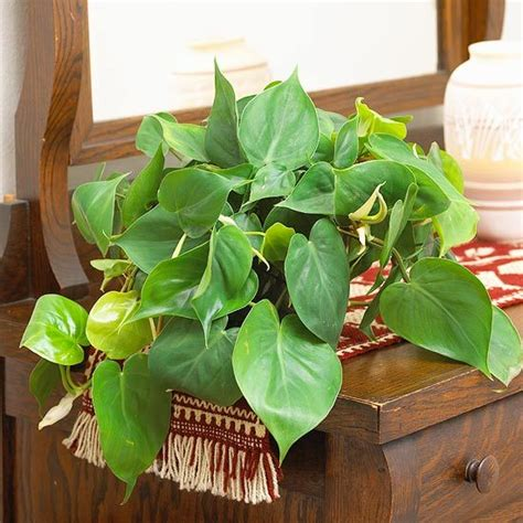 common house plant with shaped leaves 221 best images about houseplants on glass