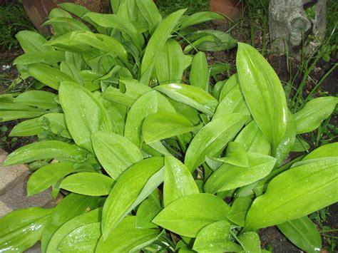mahalab tropical bulb plants lat s gardening blog