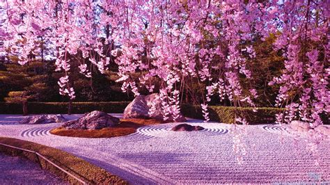 cherry blossom images japanese cherry blossom quotes quotesgram