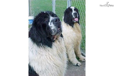 newfoundland puppies for sale ny newfoundland puppy for sale near binghamton new york 6bc52e9d dae1