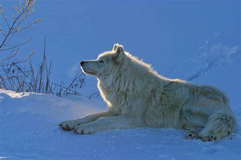北极狼属于灰狼吗? - 狼百科
