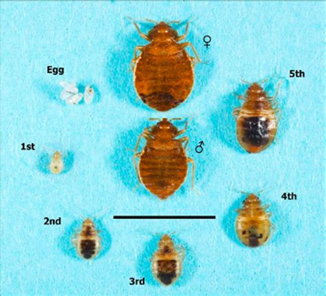 bed bug stages bed bugs beware uhab urban homesteading assistance