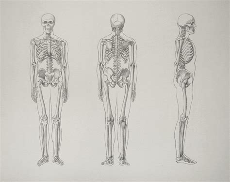 skeleton bones video lesson presented in the drawing
