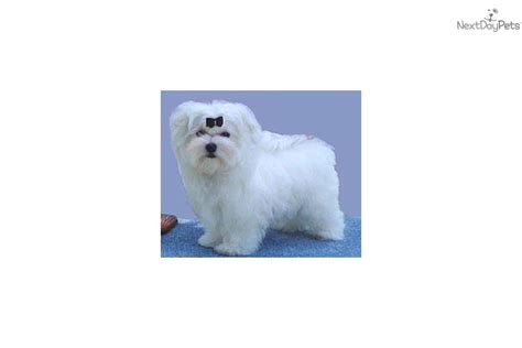 shih tzu puppies for sale in cleveland ga maltese puppies for sale dogs puppies next day pets find maltese breeds picture