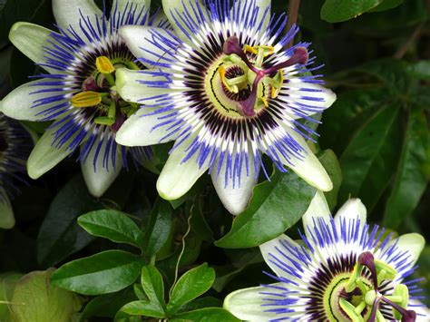 Passion Fruit Climbing Plant - flowers for flower lovers passion flowers