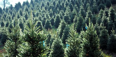 christmas tree permits in el dorado ca real trees offer economical environmental and social benefits arbor day