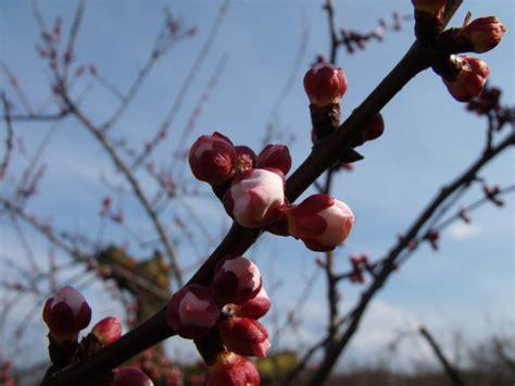fiori di albicocco foto fioritura albero di albicocco