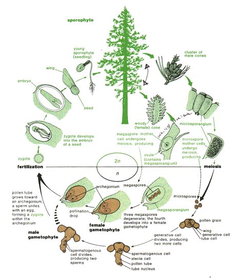 schematic structure biography gymnosperms diagram www imgkid com the image kid has it