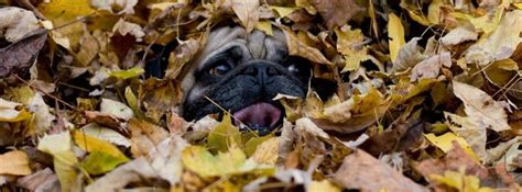 fall pug pug themed cover photos for your timeline