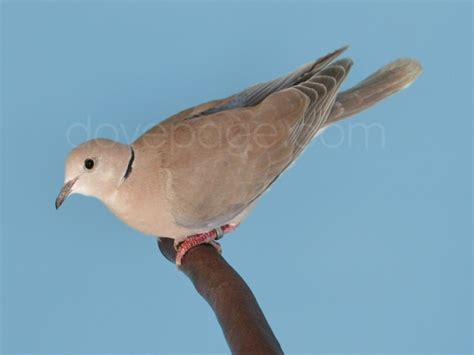 tlc ringneck dove aviary florida dove breeder