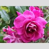 Green Roses Images | 800 x 600 jpeg 167kB