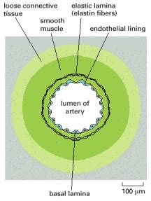 blood vessel cross section welcome to the visible embryo