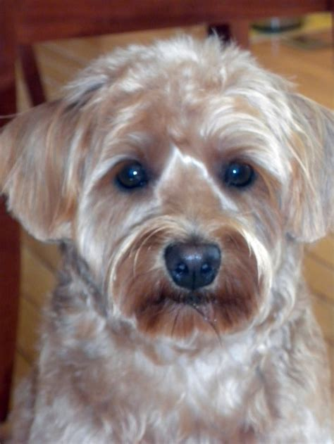schnoodle style grooming cuts image gallery schnoodle cuts