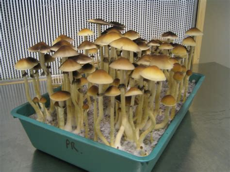 how to grow psilocybin mushrooms practical guide for absolute beginners easy way to grow your own mushrooms books magic pictures