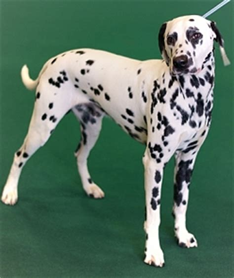 what do spots look like on dogs coat colour genetics