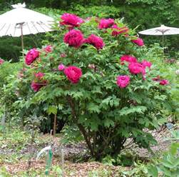 tree peony care and reference crickethillgarden