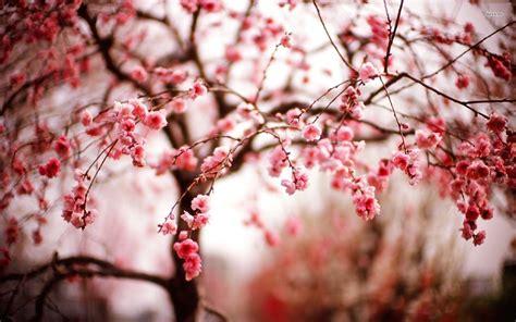 Cherry Blossom Desktop Wallpapers Wallpaper Cave | cherry blossom desktop backgrounds wallpaper cave