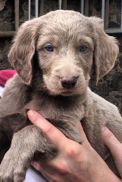 haired weimaraner puppies haired weimaraner pup glenrothes fife pets4homes