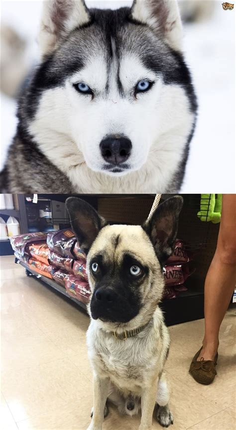 breeds that look like pugs breed do not breed pug with other breeds rebrn
