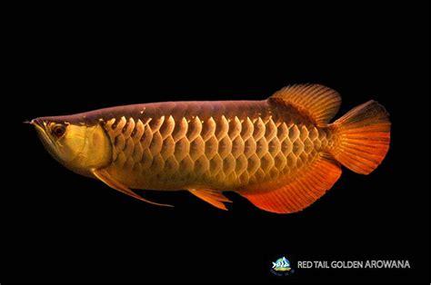 Bibit Arwana Pino jenis dan harga ikan arwana binatang peliharaan