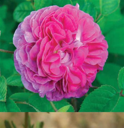 imagenes de rosas por cumpleaños flores comest 237 veis rosas portal agroneg 243 cios eu