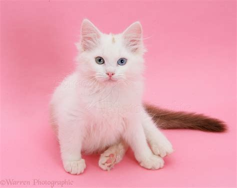 Cat Black Pink birman x ragdoll kitten on pink background photo wp22149