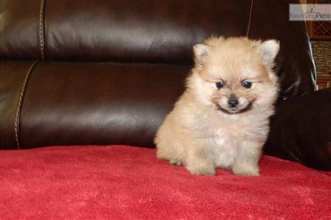 teacup pomeranian temperament meet a pomeranian puppy for sale for 700 teacup pomeranian puppy