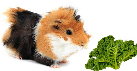 vegetables guinea pigs can eat can guinea pigs eat kale
