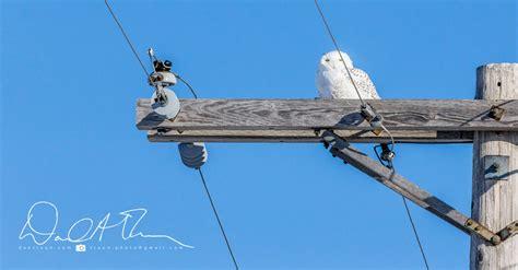 Canon Papercraft Snowy Owl - four hours frozen snowy owls dantraun