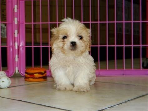 shih tzu puppies for sale in ms shih tzu puppies for sale huntsville guntersville birmingham alabama area funnydog tv
