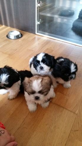 shih tzu puppies newcastle shih tzu puppies ready now 350 newcastle upon tyne tyne and wear pets4homes