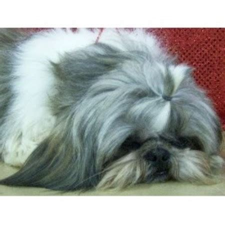 teacup shih tzu puppies for sale in alabama teacup shih tzu puppies for sale in iowa