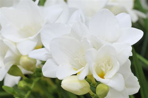 Freesia Flower Subscription   Regular Freesias for your Home.